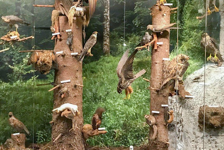 Museum im Alten Bau Geislingen . Vogelwelt